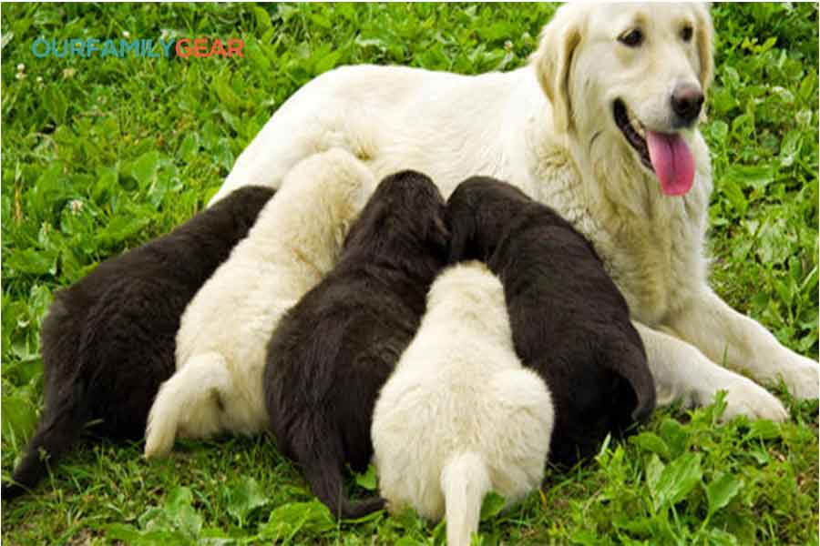 Dogs pregnancy